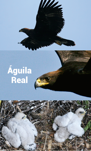 8-aguila-real