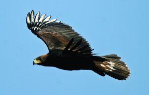 1-juvenil-de-aguila-real-en-vuelo