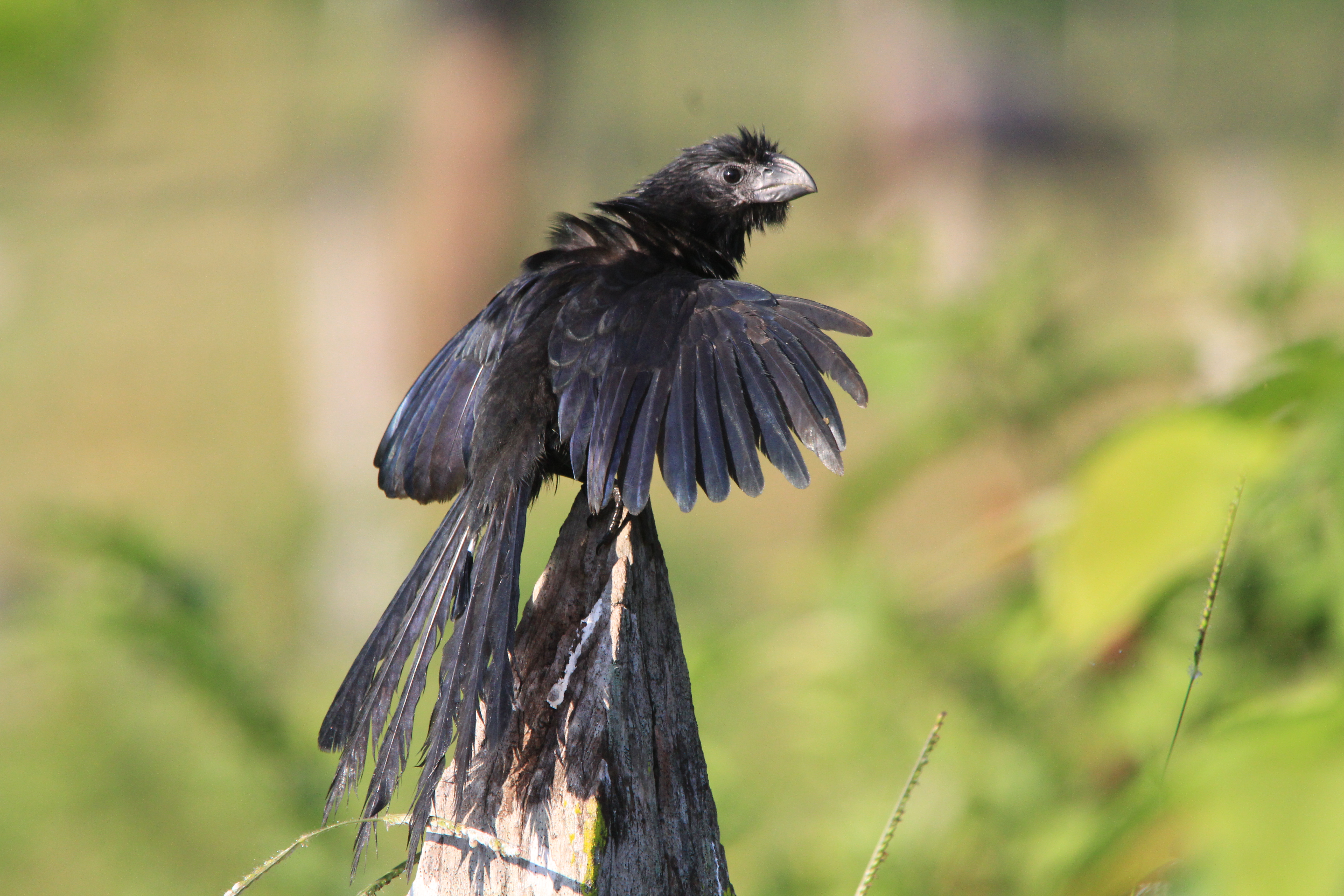 Aves de Usumacinta – ovis ac