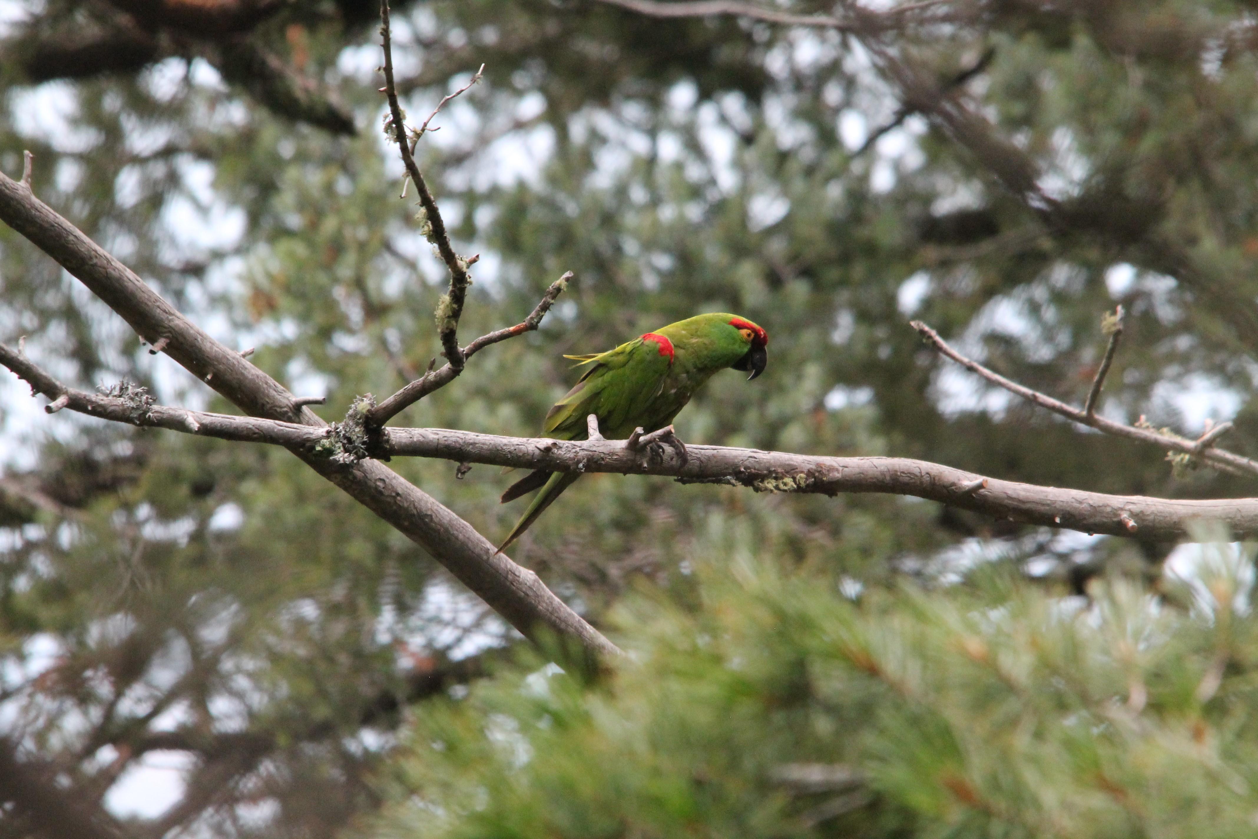 Cotorra Serrana en la Reserva de la Biósfera Janos – ovis ac